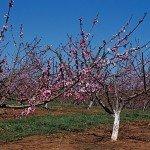 orchard Ontario fruit food beverage industry export manufacturing EDIWeekly