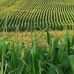 corn field Ontario agriculture manucfacturing food production EDIWeekly