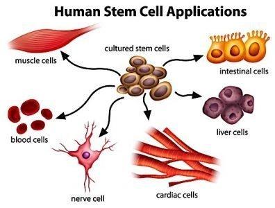 stem cell graphic Bayer MaRS Toronto Till McCulloch